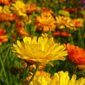 Gedroogde goudsbloem calendula